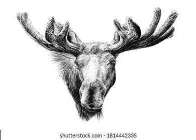 Hand drawn moose portrait, sketch graphics monochrome illustration on white background (originals, no tracing)
