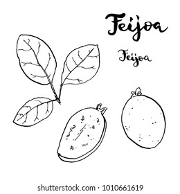 hand drawn painted set of graphic sketch of isolated berries Acca sellowiana, feijoa ,pineapple guava , guavasteen on white background with handwritten words