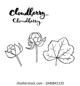 hand drawn painted set of graphic sketch of isolated berries Rubus chamaemorus cloudberry,bakeapple, knotberry, knoutberry, averin, evron, on white background with handwritten words