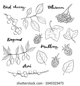 hand drawn painted set of graphic sketch of isolated berries bird cherry, viburnum, dogwood, mulberry, asai on white background with handwritten words