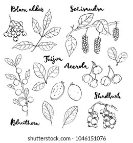 hand drawn painted set of graphic sketch of isolated berries black elder, schisandra,feijoa, acerola, blackthorn, shadbush on white background with handwritten words