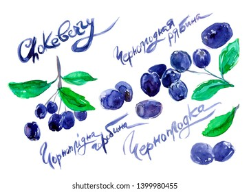 hand drawn painted set of watercolor sketch of isolated berries black chokeberry, Aronia melanocarpa on white background with handwritten words. Name of chokeberry in English, Russian and Ukrainian