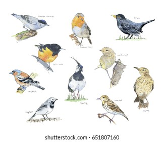hand drawn painted set of watercolor sketch of birds eurasian blackcap european robin thrush golden oriole chiff-chaff chaffinch lapwing skylark wagtail tree pipit on white background