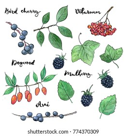 hand drawn painted set of watercolor sketch of isolated berries bird cherry, viburnum, dogwood, mulberry, asai on white background with handwritten words