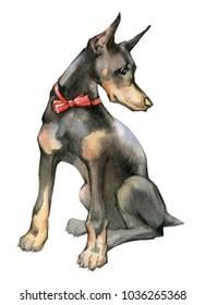 Hand drawn painting of Doberman Pincher. Portrait of a cute dog. Doberman Pincher watercolor illustration .