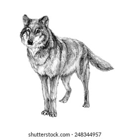 Hand drawn pencil illustration of grey wolf. Forest predator