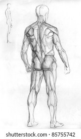 hand drawn pencil sketch illustration of the male human muscle anatomy - back side
