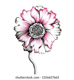Hand drawn pink scabiosa flower isolated on white background. Botanical illustration made with fineliners