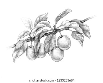 Hand drawn plum branch isolated on white background. Monochrome sketch of fruit. Pencil drawing.
