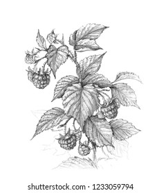 Hand drawn raspberry   branch isolated on white background. Monochrome sketch of berries. Pencil drawing.