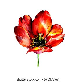 Hand drawn red watercolor tulip  on white background.Illustration of beautifull flower.