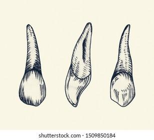 Hand Drawn right canine teeth enamel, dental set.  Vintage style. symbol of medicine. Dental Technician