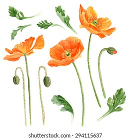 Hand drawn romantic watercolor Poppies, high quality botanical illustration. Elements for design of greeting cards, invitations. Isolated on white.