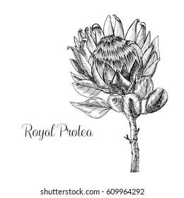 Hand drawn Royal protea