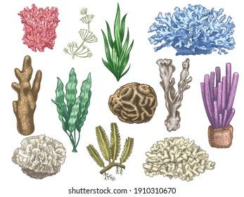 Hand drawn seaweeds and corals. Sea reef and aquarium underwater plants. Kelp, algae marine weeds vintage colored style isolated  set. Illustration coral reef sea, seaweed marine