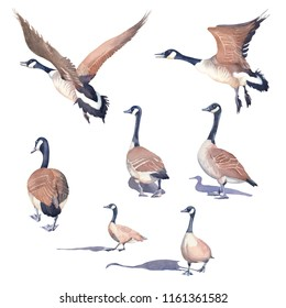 Hand drawn set of Canada geese on a white background. Watercolor illustration.