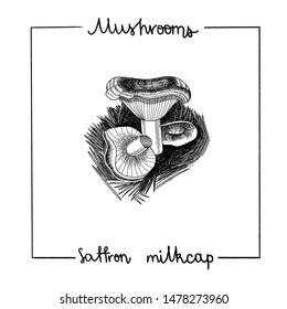 Hand drawn set of mushrooms. Safron milkcap. Engraving vintage botanical illustrations for label, food design.
