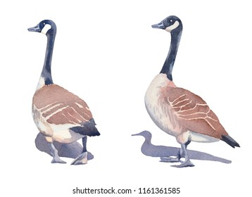 Hand drawn set of two Canada geese on a white background. Watercolor illustration.