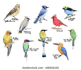 hand drawn set of watercolor birds yellowhammer golden conure bohemian waxwing blue throated red bearded bee eater blue jay turquoise browed motmot cardinal stork billed kingfisher paradise tanager