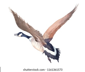 Hand drawn sketch of Flying Canada goose on a white background. Watercolor illustration.