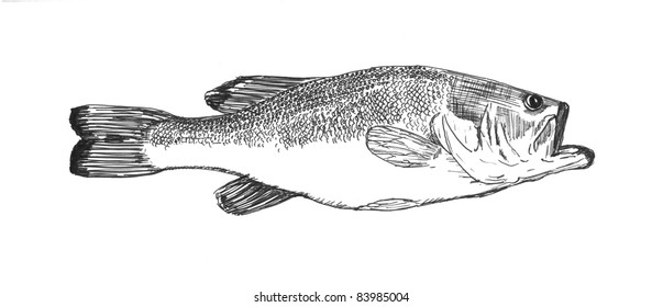 Bass Fish Sketch Images Stock Photos Vectors Shutterstock