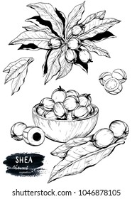Hand drawn sketch of Shea nuts plant, berry, fruit. Raster version