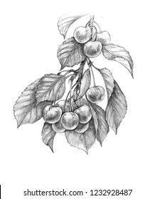 Hand drawn sweet cherry branch with berries and leaves isolated on white background. Monochrome sketch of fruit. Pencil drawing.