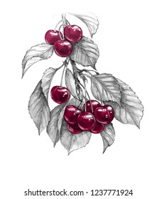 Hand drawn sweet cherry branch with red berries and monochrome leaves isolated on white background. Pencil drawing realistic sketch of fruit.