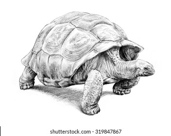 A hand drawn turtle illustration of a giant galapagos tortoise walking with its head out of the shell and isolated on a white background with detailed pencil sketching.