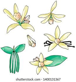 Hand drawn vanilla collection. Set of the vanilla flowers. Vanilla illustration.