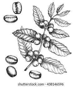 Hand drawn vintage coffee plant. Elements for the graphic design of the menu bars, restaurants, invitations, announcements.