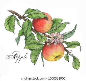 Hand drawn watercolor artistic illustration of the sweet ripe red and  yellow apples on the branch. Drawing of the tasty fresh healthy food. Isolated clip art. Apple fruits and leaves