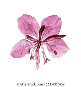 Hand drawn watercolor botanical illustration of the fireweed  plant. Fireweed  drawing isolated on the white background.