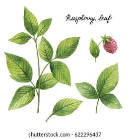 Hand drawn watercolor botanical illustration of Raspberry leaf. Healing Herbs for design of natural food, kitchen, market, menu.