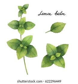 Hand drawn watercolor botanical illustration of Lemon balm. Healing Herbs for design of natural food, kitchen, market, menu.