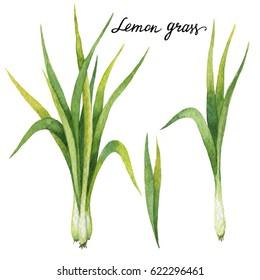 Hand drawn watercolor botanical illustration of Lemon grass. Healing Herbs for design of natural food, kitchen, market, menu.