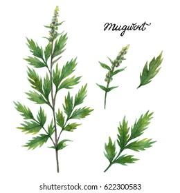 Hand drawn watercolor botanical illustration of Mugwort. Healing Herbs for design of natural food, kitchen, market, menu.