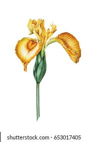 Hand drawn watercolor Botanical illustration of a yellow flower of swamp iris. Element for design, fabric, postcards and other objects.