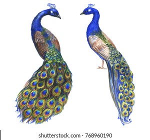 Hand drawn watercolor couple of peacocks birds isolated on the white background