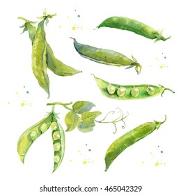 Hand drawn watercolor illustration of fresh green peas. Peapods. Watercolor painting isolated on white background.