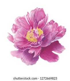 Hand drawn watercolor illustration of pink peony on a white  (on black) background. Can be used as a greeting card for background, birthday, mother's day, wedding invitations, wallpaper and so on.