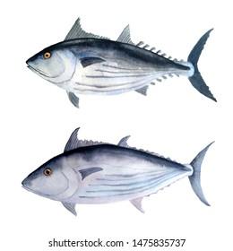 hand drawn watercolor illustration set of tuna skipjack fish for commercial fishing saltwater mackerel family known as balaya, aku, arctic bonito for food design labels packaging restaurant menu