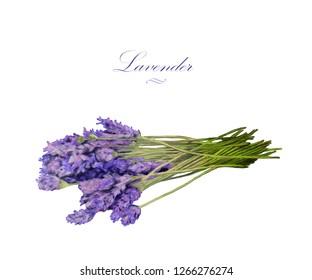 Hand drawn watercolor lavender