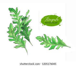 Hand drawn watercolor and line art illustration of arugula with paint splashes. Arugula leaves isolated on white background