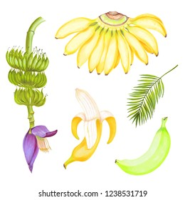Hand drawn watercolor marker illustrations of yellow bananas fruits set with banana flower and areca palm leaf.