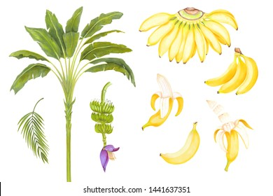 Hand drawn watercolor marker illustrations of yellow bananas fruits set with banana flower and banana tree, areca palm leaf.