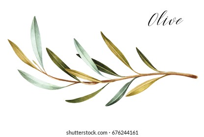 Hand drawn watercolor olive branch. White background. Isolated.
