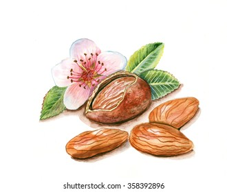 Hand drawn watercolor painting of almond  isolated on white background. Illustration of nut for your design