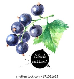 Hand drawn watercolor painting black currant on white background. Illustration of berries