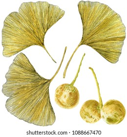 Hand drawn watercolor painting of ginkgo leaves and seeds. Botanical illustration of ginkgo biloba fruits and leaves isolated on white background.
